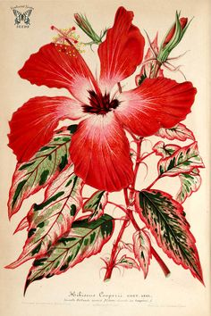 Hibiscus rosa-sinensis L. [as Hibiscus cooperi auct.] L' Illustration horticole, vol. Botanical Flowers, Tropical Flowers, Botanical Prints, Red Flowers, Botanical Gardens, Hibiscus Rosa Sinensis, Botanical Drawings, Botanical Illustration, Art Floral