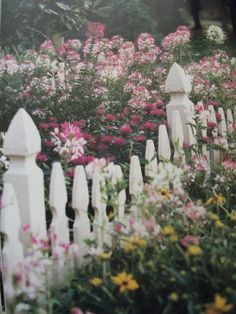 Cleome flowers and a picket fence