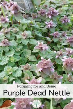 Learn more about dead nettles and how useful they are in culinary and medicinal applications! The Homesteading Hippy  #foraging #backyardherbs #wildfood #wildedibles #freefood #jerf #foragedfood #edibleplants #herbalmedicine #freemedicine #wildmedicine