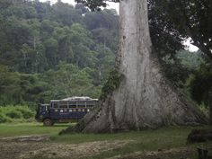 Northern the trees are ENORMOUS! Great shot of Aminah our at a camp spot Liberia Africa, West Africa, Liberia History, Overland Truck, Peace Corps, Great Shots, Night Life, Attraction, Natural Beauty
