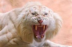 Tigre branco com raiva