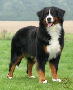 pics of bernese mountain dogs | ... mat designs/Dogs/Bernese Mountain Dog/Bernese Mountain Dog 9Y066D-133