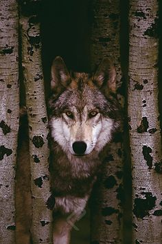 Lone Gray Wolf Through the Trees - Wildlife Poster, 24x36