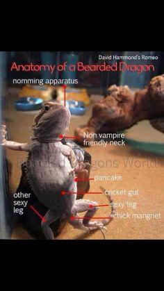 The Lifespan of a Bearded Dragon Depends on Proper Care Bearded Dragon Funny, Bearded Dragon Cage, Lizard Dragon, Pet Dragon, Rabbit Cages, Bearded Dragon Enclosure, Reptile Room, Reptile Scales, Terrarium Reptile