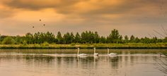 sunset swans by kyle stevenson on 500px