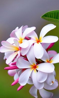 Plumeria - also known as Frangipani - beautiful flowers and amazing scent - my favourite! Plumeria Flowers, Tropical Flowers, Exotic Flowers, Amazing Flowers, My Flower, Pretty Flowers, White Flowers, Hawaiian Flowers, Hair Flowers