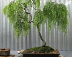 Bonsai Green Weeping Willow Tree Thick Trunk Cutting | Etsy Outdoor Bonsai Tree, Indoor Bonsai, Outdoor Plants, Bonsai Tree Price, Bonsai Trees For Sale, Pre Bonsai, Bonsai Soil, Weeping Willow, Willow Tree