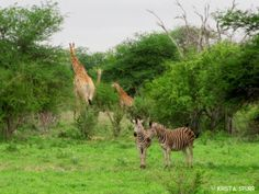 Kruger National Park giraffes and zebras South Africa Giraffes, Zebras, Kruger National Park, Kangaroo, South Africa, This Is Us, Travel, Animals, Baby Bjorn