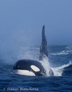 CA24 (male Transient orca) - photo by Daniel Bianchetta