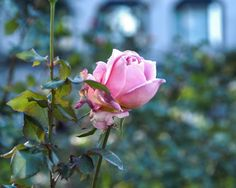"Nature Photography, ""Boston Rose"", Romantic Wall Art, Pink Rose Print"