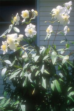 Carpenteria californica 'Elizabeth' Elizabeth Bush Anemone.  Standing 6'-7' tall, 'Elizabeth' has pure, white, fragrant flowers and is an attractive multi-stemmed evergreen shrub. It has larger flowers than the common Bush Anemone and will do well in sun or shade.