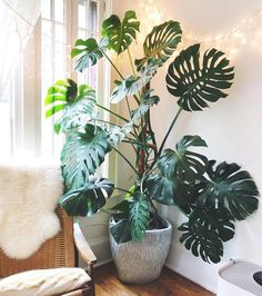 my monstera is so much happier on his moss pole! : houseplants my monstera is so much happier on his moss pole! : houseplants The post my monstera is so much happier on his moss pole! : houseplants appeared first on Wohnung ideen. House Plants Decor, Plants In Bedroom, Plants In Living Room, Big House Plants, Living Rooms, Plants For Home, Plants In Kitchen, Plant Rooms, Bedroom Flowers