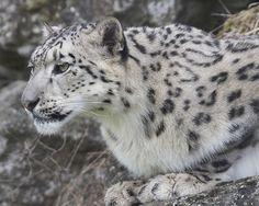 """""""Snow Leopard""""#gazing through nature's door 4"""