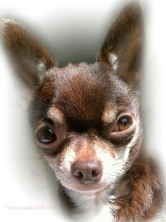 My dog has allergies? The last thing you ever want to hear is that your dog has allergies.  With the proper treatment plan from your vet, your dog can lead a happy, symptom free life.  Read all about Tootsie the Chi's visit to the vet...