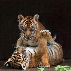tiger cubs - http://www.1pic4u.com/blog/2014/12/25/tiger-cubs/