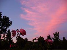 Pink roses, pink sunset July 2, 2015