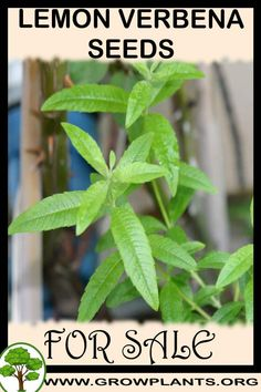 Lemon verbena seeds for sale - Grow plants - Gardening all need to know before buy this plant Tips, amount of water, sun exposure, planting season, blooming season, hardiness zone, height of the plants, if it's grow as houseplant and much more #gardening, #plants Easy Plants To Grow, Growing Plants, Lemon Verbena Plant, Seeds For Sale, Plant Information, Light Well, Annual Plants, Plant Sale, Planting