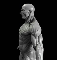 This is a high poly model of the male human figure with extremely accurate anatomy. I would be very impressed if you found a more accurate model anywhere els. Arm Anatomy, Human Anatomy Drawing, Body Anatomy, Body Drawing, Life Drawing, Zbrush Anatomy, Male Figure Drawing, Figure Drawing Reference, Anatomy Reference
