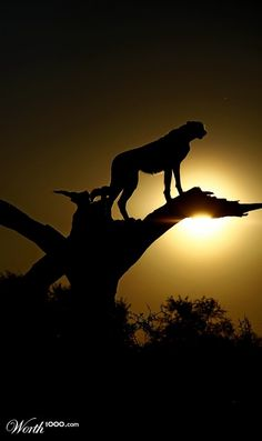 Cheetah Silhouette by Nobby Clarke Silhouette Painting, Animal Silhouette, Silhouette Photo, Cheetah Pictures, Animal Pictures, Beautiful Birds, Animals Beautiful, Cute Animals, Wildlife Photography