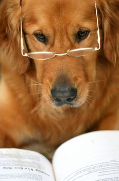 "Dog with glasses reading. ""Though he had very little Latin beyond 'Cave canem,' he had, as a young dog, devoured Shakespeare (in a tasty leather binding)."" (Dodie Smith, 101 Dalmatians)"