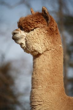 I'd try not to wear alpaca coats from now on. Farm Animals, Animals And Pets, Funny Animals, Cute Animals, Alpaca Pictures, Animal Pictures, Alpacas, Wild Life, Cute Alpaca