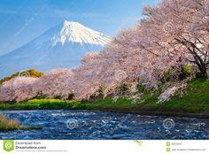 Sakura in fiore davanti al monte Fuji. Monte Fuji, Lonely Planet, Kyoto, National Geographic Wallpaper, Japanese Nature, Japanese Landscape, Tokyo Travel, Nagoya, Parcs