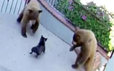 The Little Dog Who Chased Away 3 Bears Was Very Lucky