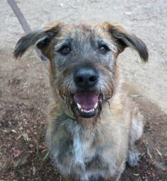 11/13/15-Perkins! <3 Irish Wolfhound & GSD Mix • Adult • Male • Large. Bill Foundation Beverly Hills, CA. Almost 6.5 yrs, 60 lbs. House-trained, amazing on leash & super sweet! Lil unsure w/ strangers, but quickly directed. Affectionate, gives little kisses & adores sharing a bed w/ his person. Fantastic, intelligent dog for that lucky person w/ time & energy to devote to obed training & exercise that active Perkins needs!
