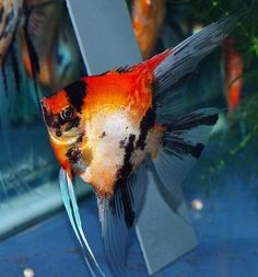 Premium Koi Angelfish from Angels Plus Live Aquarium Fish, Tropical Aquarium, Tropical Fish, Tropical Freshwater Fish, Freshwater Aquarium Fish, Fish Feed, Pet Fish, Aquariums, Koi