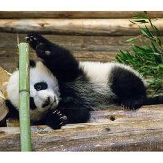 Секс видео панда лучший любовник