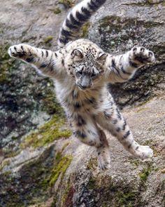"""rikuさんのツイート: """"フライングフクちゃん。このムササビのような面白い落下は、いつまで見られるのかな。 #ユキヒョウ #snowleopard #多摩動物公園… """""""