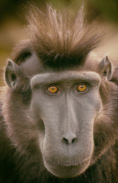 Kato - Sulawesi Crested Black Macaque | Flickr - Photo Sharing!