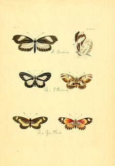 Illustrations of exotic entomology :. London :Henry G. Bohn ...,1837.