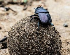 recycling dung beetle