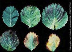 Potassium deficiency in strawberry leaves. Youngest leaf at top left. Oldest leaf at lower right.