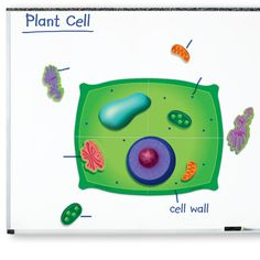 Giant Magnetic Plant Cell Printed on raised foam magnets, giant cell structures actively engage students. Includes plant cell, nine dimensional organelles and Activity Guide with background in Plant Cell Model, Plant And Animal Cells, Biology Classroom, Cell Wall, Science Kits, Developmental Toys, Middle School Science, Learning Through Play, Student Engagement