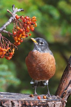 Country Orange with Berries and American Robin