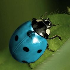Blue ladybug. Visit our newest ladybug video here: https://youtu.be/e-FCVldDhQI #ladybugs #insects #whatdoladybugseat