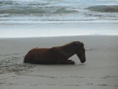 Awesome sight. Alisha Gibbs photo. Corolla Wild Horses on the Outer Banks of NC. www.VROBX.com