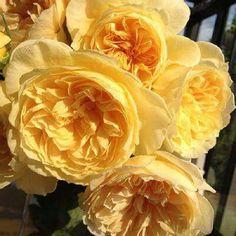 """""""本日の薔薇""""  ^^  りくほたる[ Rikuhotaru]  日本 Rose Farm keiji 作 2013年   「かおりかざり」の枝変わり。花は爽やかなアプ リコットイエローのカップ咲き、のちにシャローカップ、ロゼット咲きとその姿を変えてゆ きます。花には芳醇な香りがあり、 1輪咲きはじめただけでシトラス、ダマスク、ティなどが ミックスされた、南国フルーツの芳香があたりを包み込みます。細枝にも蕾をつけるほど花つ きに優れます。枝はコンパクトにまとまって横張りに育ちます。コンテナ栽培にも適します。  花径:8~10cm 樹高:1.0m 花季:四季咲 その他:香⇒香りのよいバラです   ❁~❁~❁ 12月~2月は バラの""""秋大苗""""の定植適期です ❁~❁~❁   オールドローズから人気のモダンローズ、F&Gローズまで「日本のバラのパイオニア京阪園芸」の特選秋大苗が、こちらサイトでお買い求め頂けます!  ⇒ http://www.keihan-engei-gardeners.com/fs/keihangn/c/akinae"""