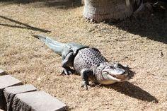 Alligator enjoying normal life thanks to prosthetic tail - KCTV5