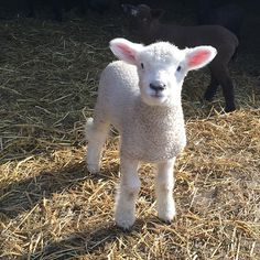 """Three day old Romney ewe """"Edie"""" March, 2015. From Theresa Walker of Great Bay Wool Works in Durham, New Hampshire."""