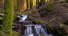 Forest Flow - A stream of fresh water running through the pine forest, spring is coming to the forest.