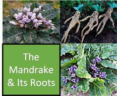 The taproot splits sometimes and has a peculiar shape resembling a miniature person. This, together with its content of narcotic and hormonally active substances made it the topic of many legends and superstitions.  The mandrake plays a major role in Shulle's life in the story of Isaiah's Legacy...