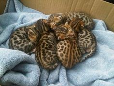 Bengal Kitties -- I challenge you to work out the puzzle of which head goes with which body. :)