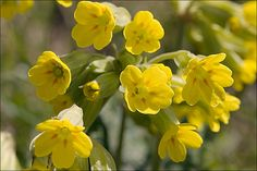 Primula veris - Mediterranean plants