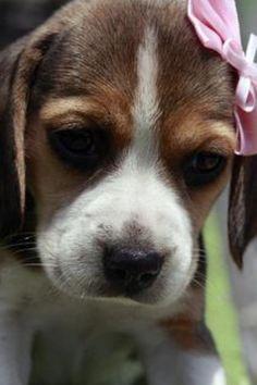 Awww. Precious sweet little baby beagle!