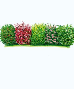 Evergreen Hedge | Trees and Shrubs from Spalding Bulb