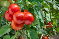 How to grow tomatoes  #Tomatoes are well worth growing because of the high yield - an average of six trusses could give between 15 and 18 pounds of fruit depending on variety.   http://www.saga.co.uk/lifestyle/gardening/q-and-a/is-it-worth-growing-tomatoes.aspx  #Saga   #Gardening   #News