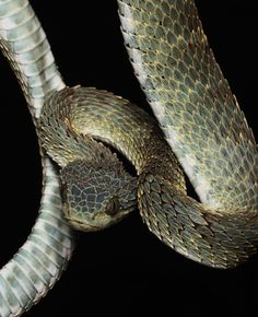 Photographer Hugh Kinsella Cunningham captures close-up portraits of some of the world's most dangerous snakes. Congo River, Close Up Faces, Mortality Rate, Black Tree, Close Up Portraits, Life Form, Viper, Natural World, Animals Beautiful